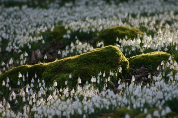 close-up-snowdrop-and-rocks.JPG