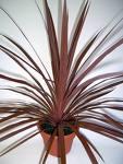 plant-cordeline.jpg